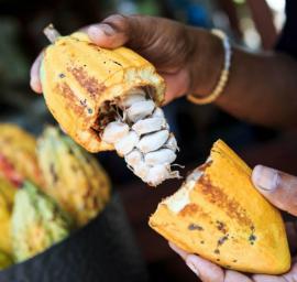 cacao pod open