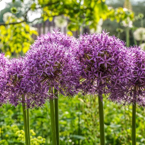 Allium flowers in the garden